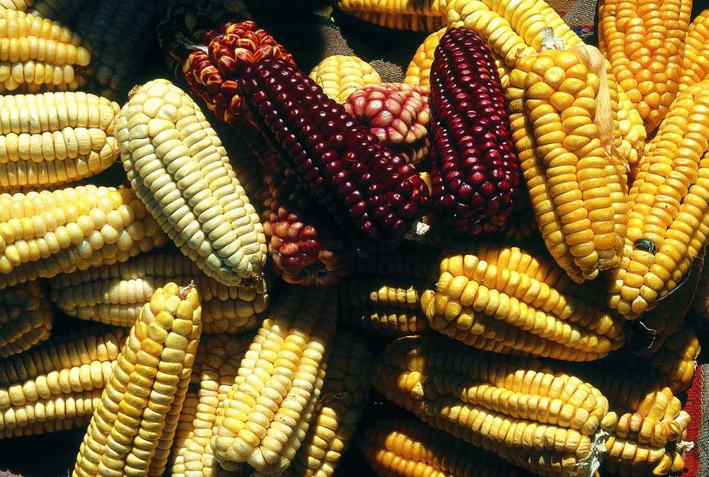 Contacto verde: articulos: maiz transgenico 1